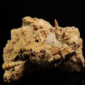 Isurus astalis