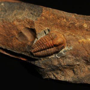 Ellipsocephalus hoffi